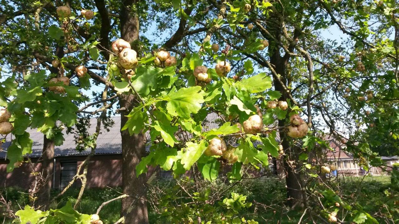 Nature Today | Eikenbomen hangen vol met aardappels