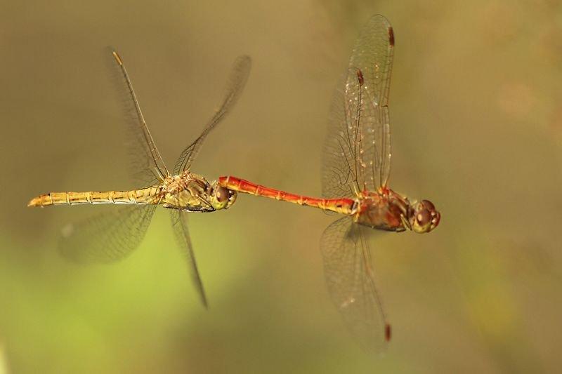 Rood mannetje en geel vrouwtje van de Zuidelijke heidelibel. (foto: Johan Buckens)