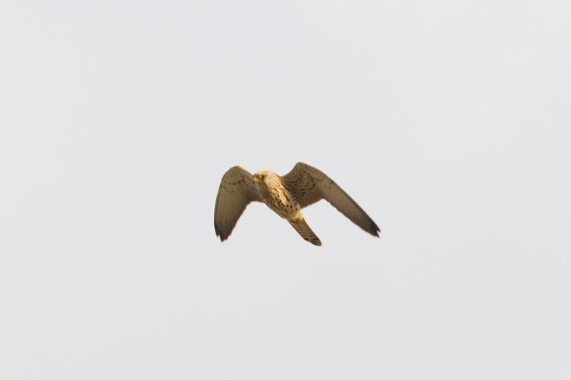 Deze Kleine torenvalk vloog zich zaterdag als 439ste soort op de Belgische lijst (foto: Diederik D'Hert).