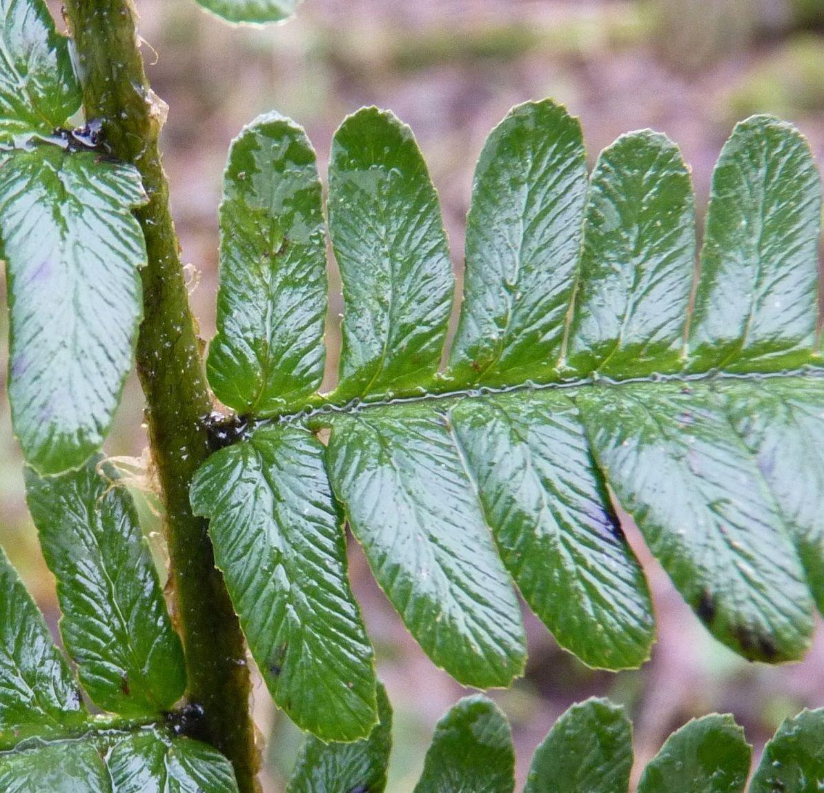 Detail van het blad met donkere vlek aan de basis van de deelbladen en deelblaadjes met afgeronde, niet afgeknotte top. De bladen zijn vrij donkergroen en licht glanzend (foto: Sipke Gonggrijp)
