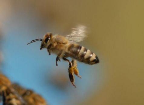 Bestuivers als deze honingbij kunnen het slachtoffer worden van bespoten bloemen (foto: Bram Cornelissen)
