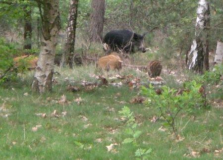 Het Everzwijn is een soort die geregeld onder de wielen terechtkomt. (foto: Leo Klok)