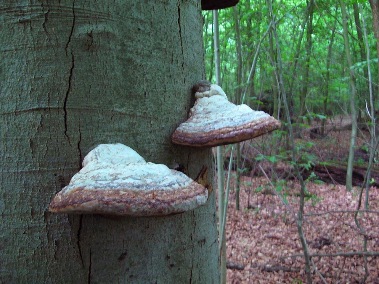 De zeldzame Verblekende wasplaat werd ook gevonden in het Robbenoordbos (foto: Martijn Oud)