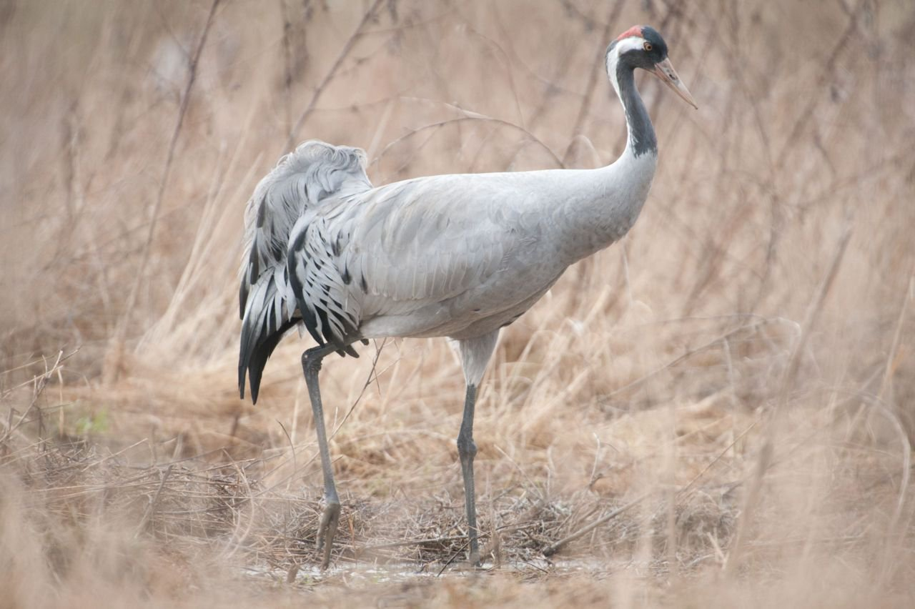 Met een spanwijdte van 2 m en een gewicht van 4 tot 6 kg is de kraanvogel een van de meest majestueuze vogelsoorten in Europa. (foto: Wim Dirckx)
