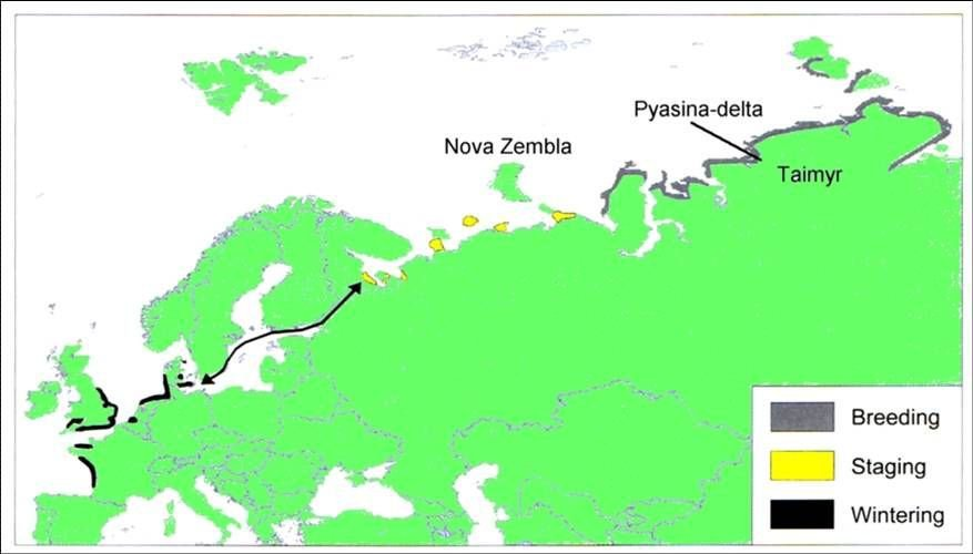 Rotganzen trekken vanuit Noord-Rusland en de Siberische toendra via de Oostzee naar hun overwinteringsgebieden in de Waddenzee, Zuid-Engeland en de Franse Kust (kaart: Vincent Schricke)