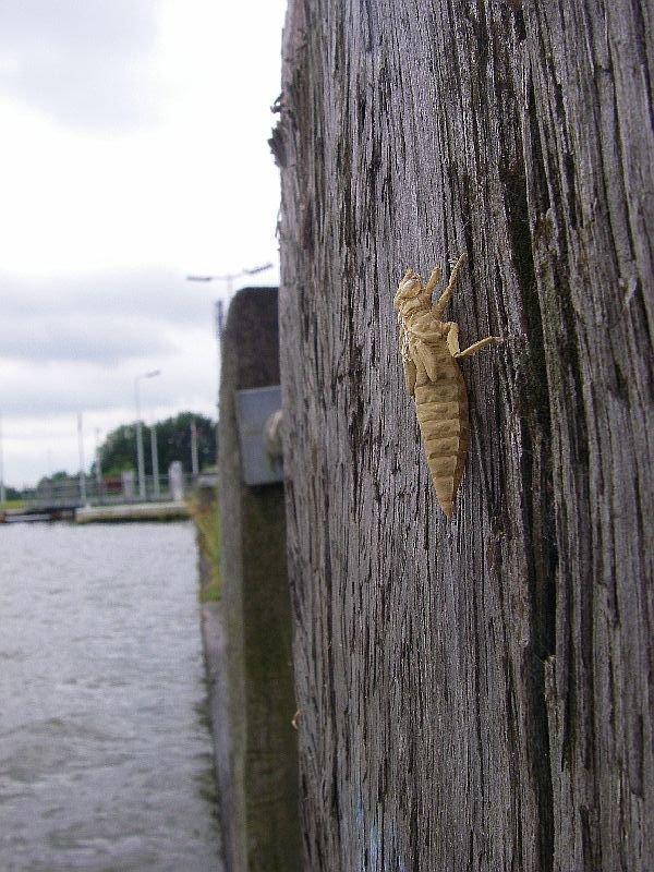Larvenhuidje aan het Albertkanaal (Foto: Tim Adriaens)
