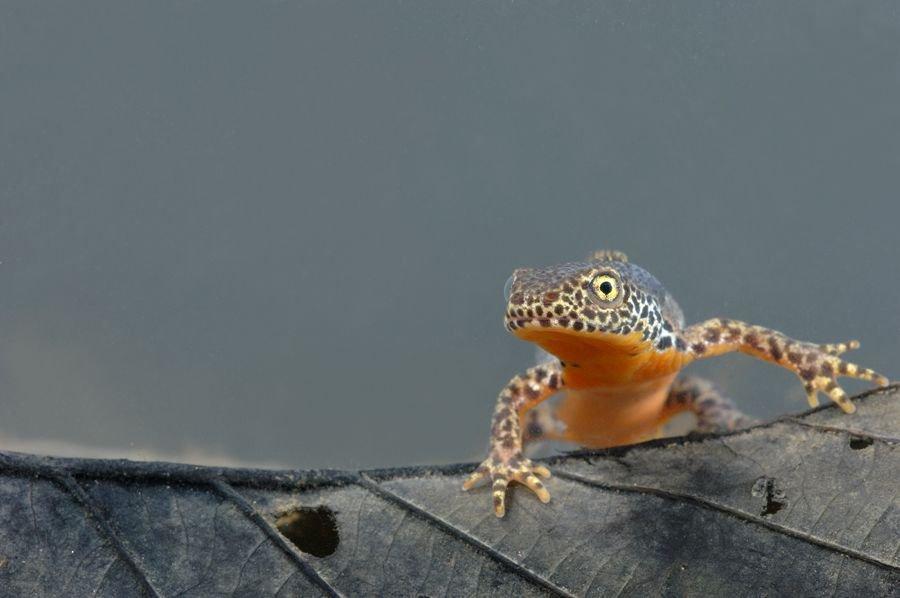 De Alpenwatersalamander is, in tegenstelling tot wat zijn naam doet vermoeden, een algemene soort in Vlaanderen.(foto: Hugo Willocx)