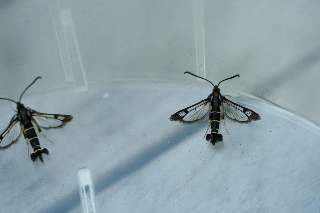 2 bessenglasvlinders wachten op determinatie. (foto: Rudi Goossens)
