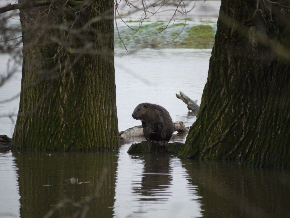 Bever (foto: Willy de Koning)
