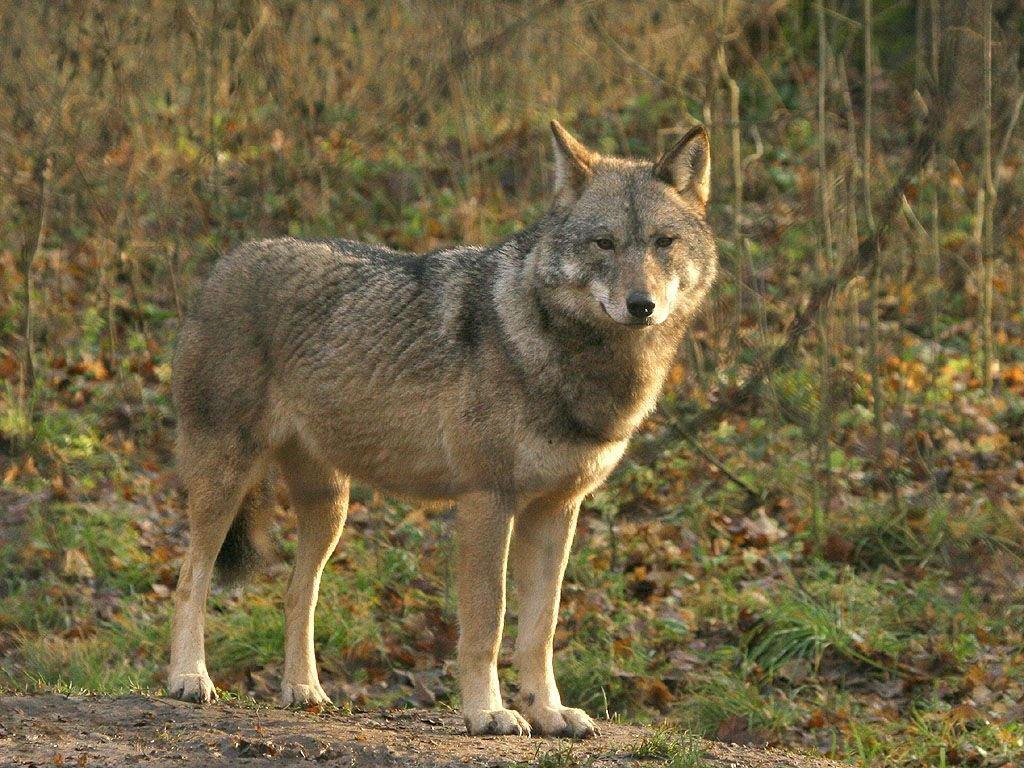 De wolf is een van de meest mythische dieren van het continent. (foto: Leo Linnartz)