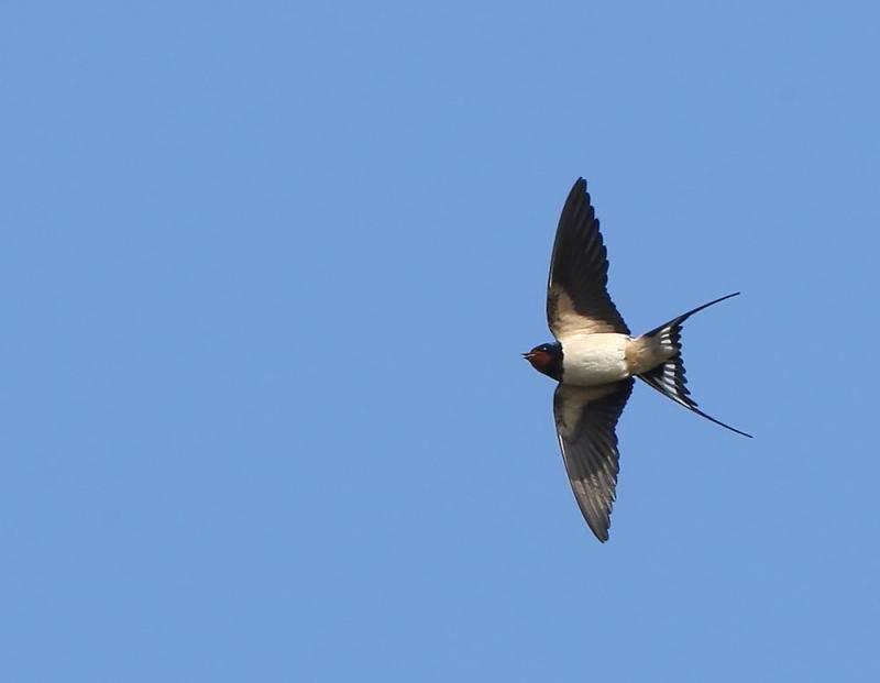 Zwaluwen: brengers van lente en geluk. (foto: Leo Janssen)