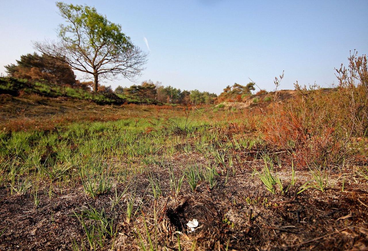 Hoewel enkele nesten in de brand van 2011 verloren gingen (verbrand nest op de voorgrond), bleek de ramp voor de Boomleeuwerik uiteindelijk erg positief uit te draaien (foto: Glenn Vermeersch)