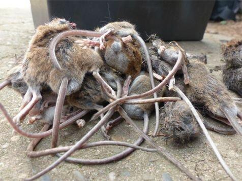 Gevonden dode bosmuizen in nestkasten (foto: Pascal Stroeken en Ronald van Harxen)