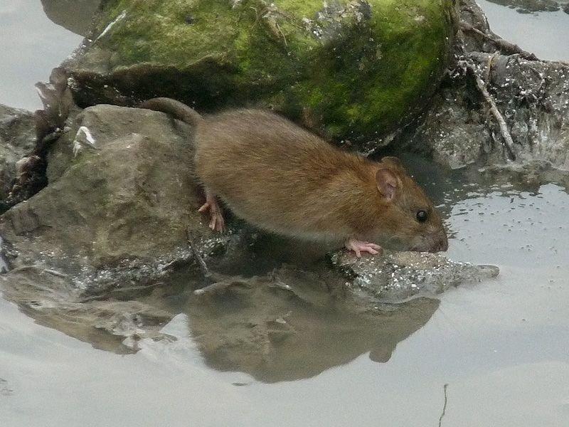 Een bruine rat gaat langs de waterlijn op zoek naar eten (foto: Erik Toorman)