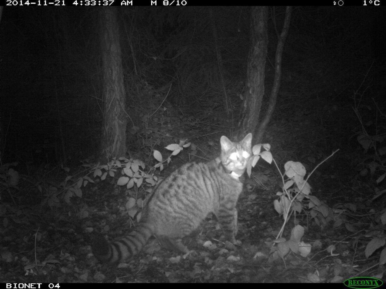 Gezenderde wilde kat voor de cameraval (foto: Bionet Natuuronderzoek)