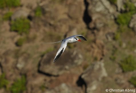 Red-billed Tropicbird in flight (photo: Christian König)
