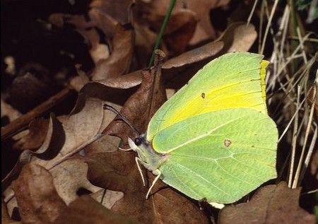 Opvallend veel gemeld is deze Citroenvlinder, maar het zijn vooral de mannetjes die gespot worden. (foto: Kars Veling)