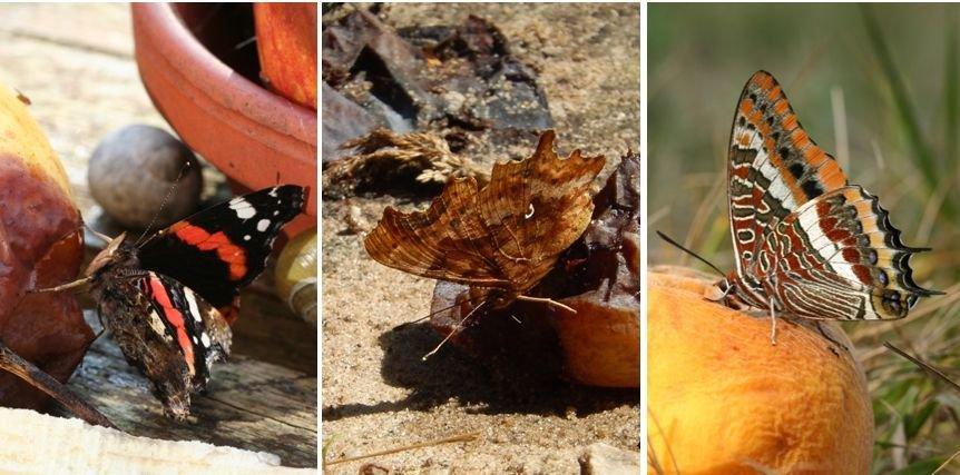 Dagvlinders op fruit: v.l.n.r. atalanta, gehakkelde aurelia en pasja (foto's: Kars Veling)