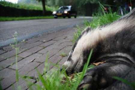 Das verkeersslachtoffer (foto: Jasja Dekker)