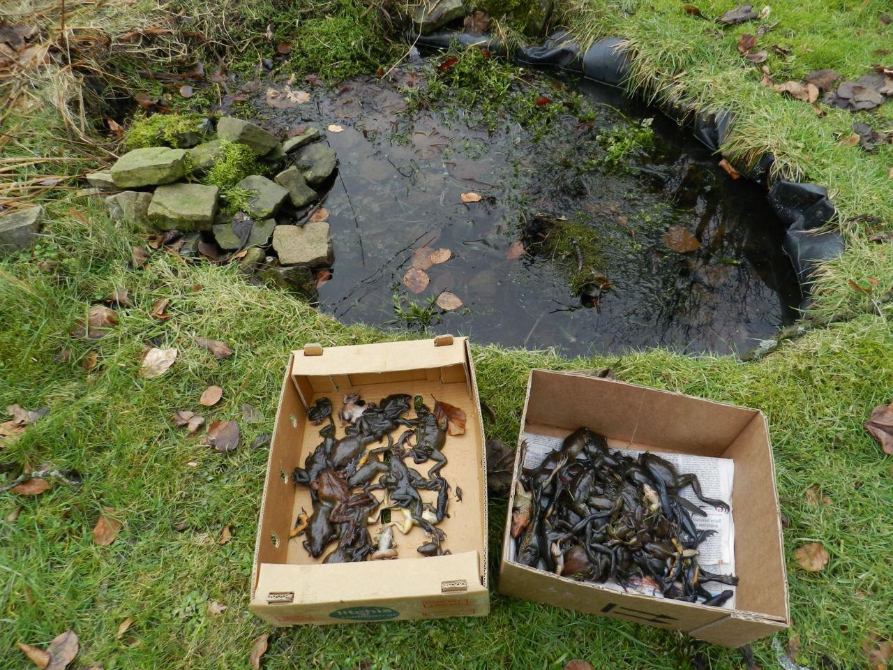 Dooi brengt dode bruine kikkers aan de oppervlakte for Kleine tuinvijver