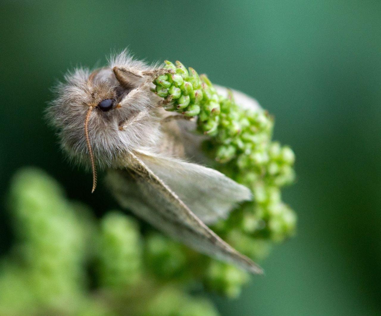 Vrouwtje eikenprocessievlinder op bloem (foto: Henry Kuppen)