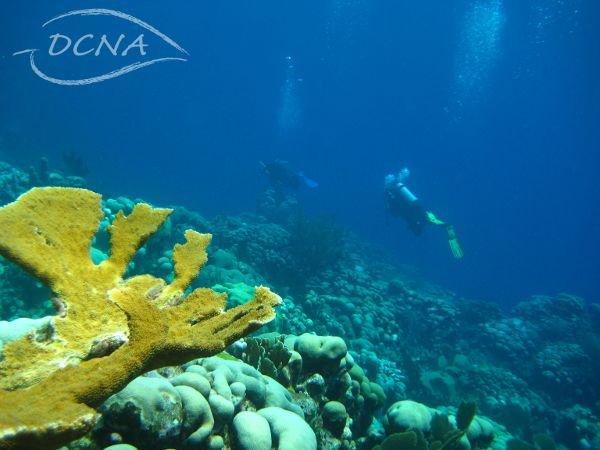 Elkhorn Coral (Acropora palmata) (photo: Mark Vermeij)
