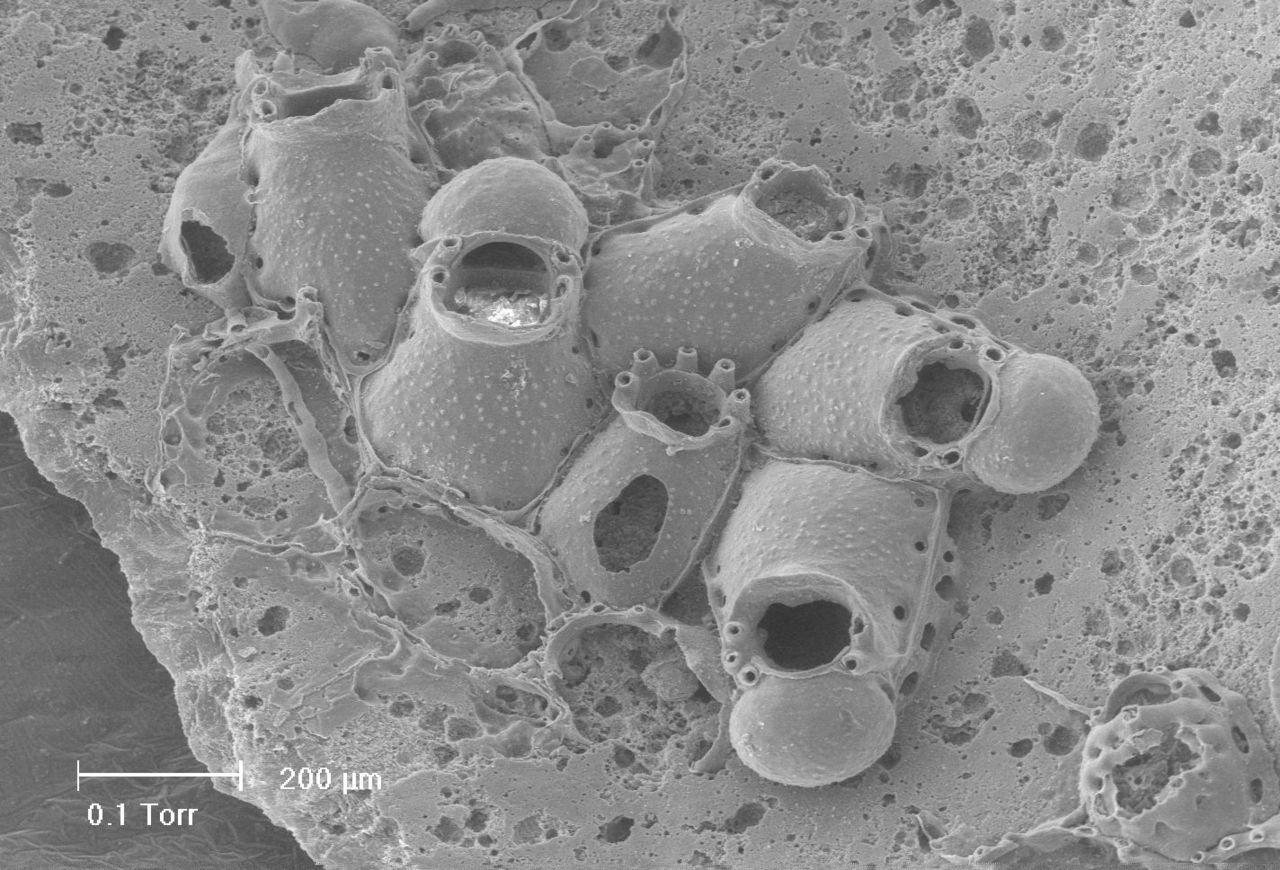 Escharella gilsoni (foto: Hans De Blauwe)