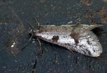 Winterbladroller (foto: Bill Urwin - Somerseth Moth Group)