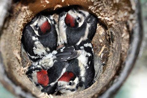 Vier grote bonte spechtjongen in nestkast (foto: Lambert Verkuijlen)