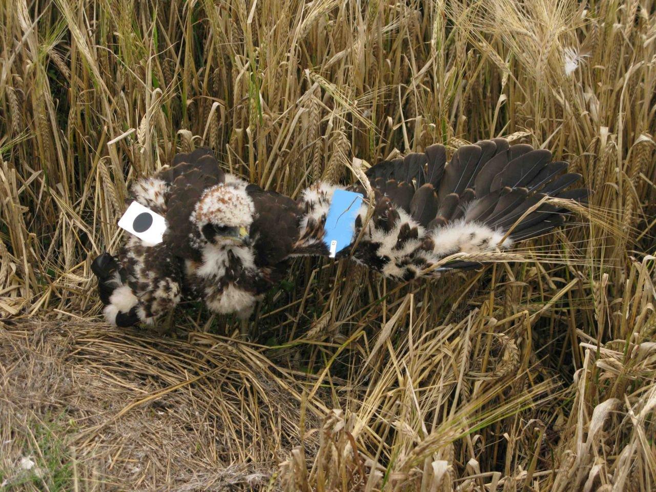 Door een unieke kleur- en codecombinatie op de plastic vleugelmerken, kan elk van de getagde Bruine Kiekendieven individueel worden gevolgd  (foto: Bellen)