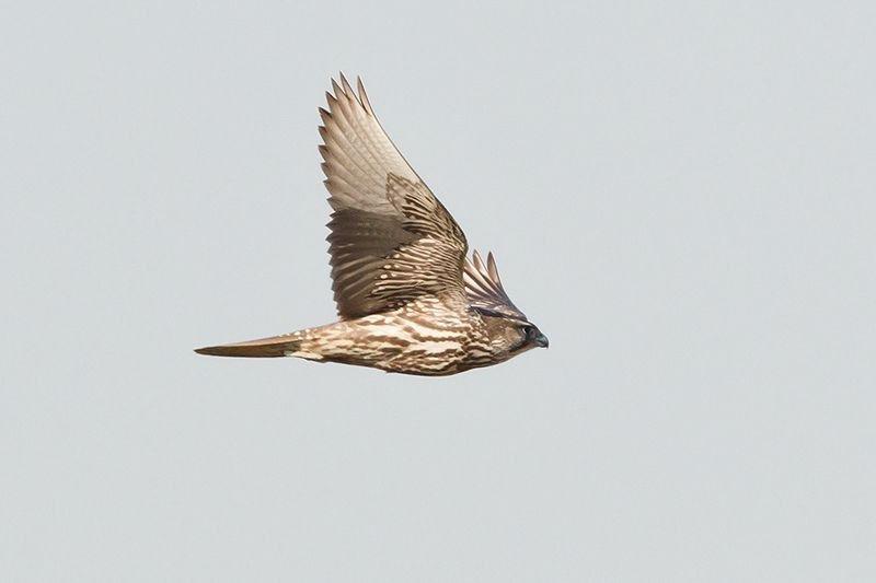 Uit gans België snelden vogelaars toe om deze krachtige roofvogel te bekijken (foto: Filip De Ruwe)