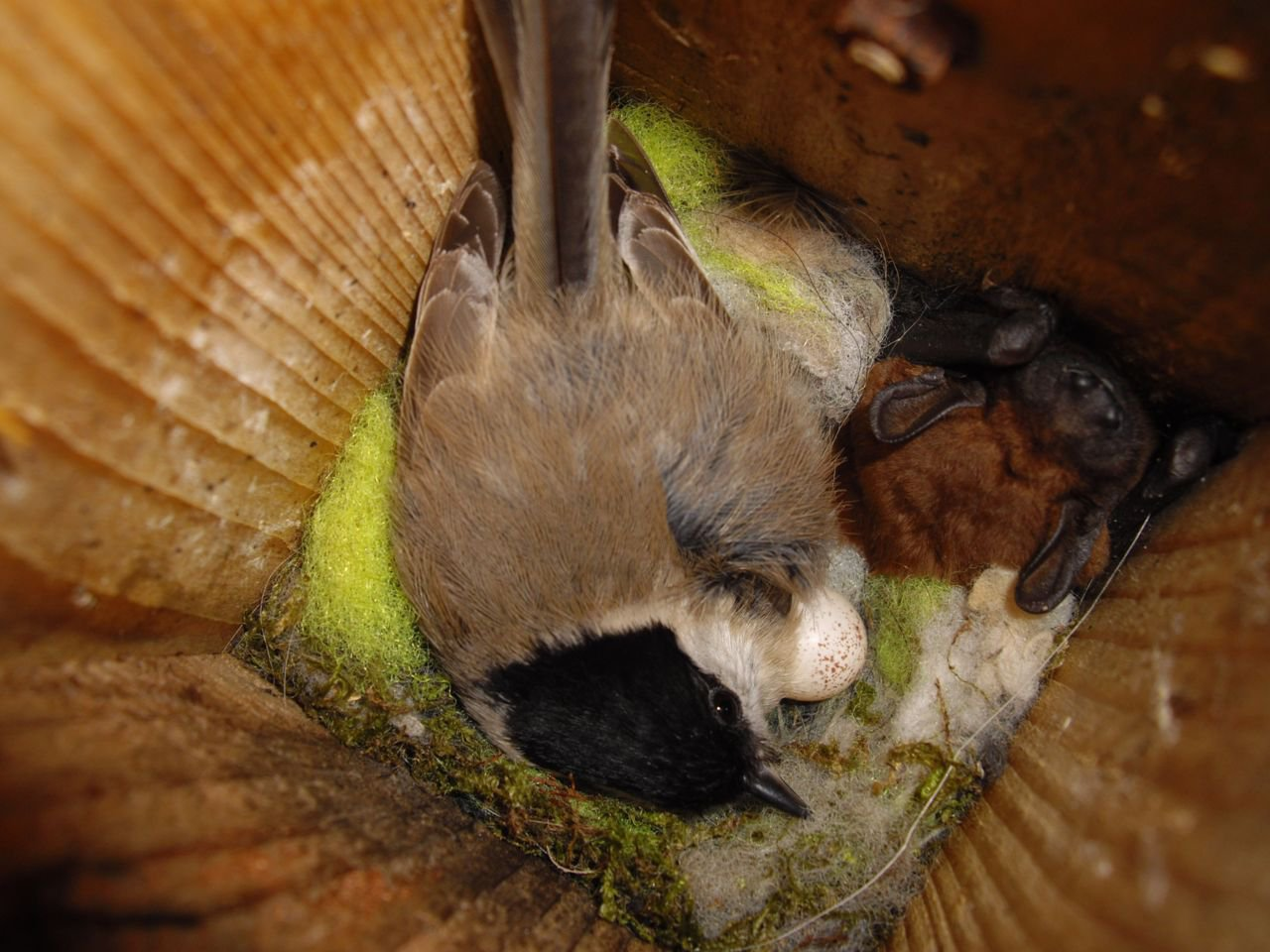 Marsh tit sharing nestbox with bat