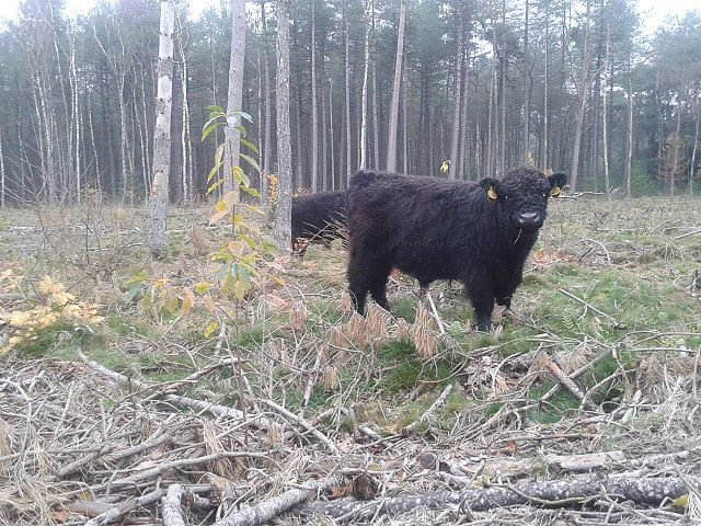 Galloways in hun winterse leefgebied in het Goois Natuurreservaat (foto: Chris Braat)