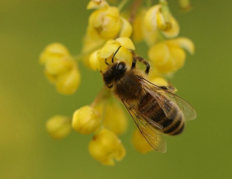 Bijen zijn erg gevoelig voor giftige stoffen en reageren snel op veranderingen in de omgeving. (foto: Leo Janssen)