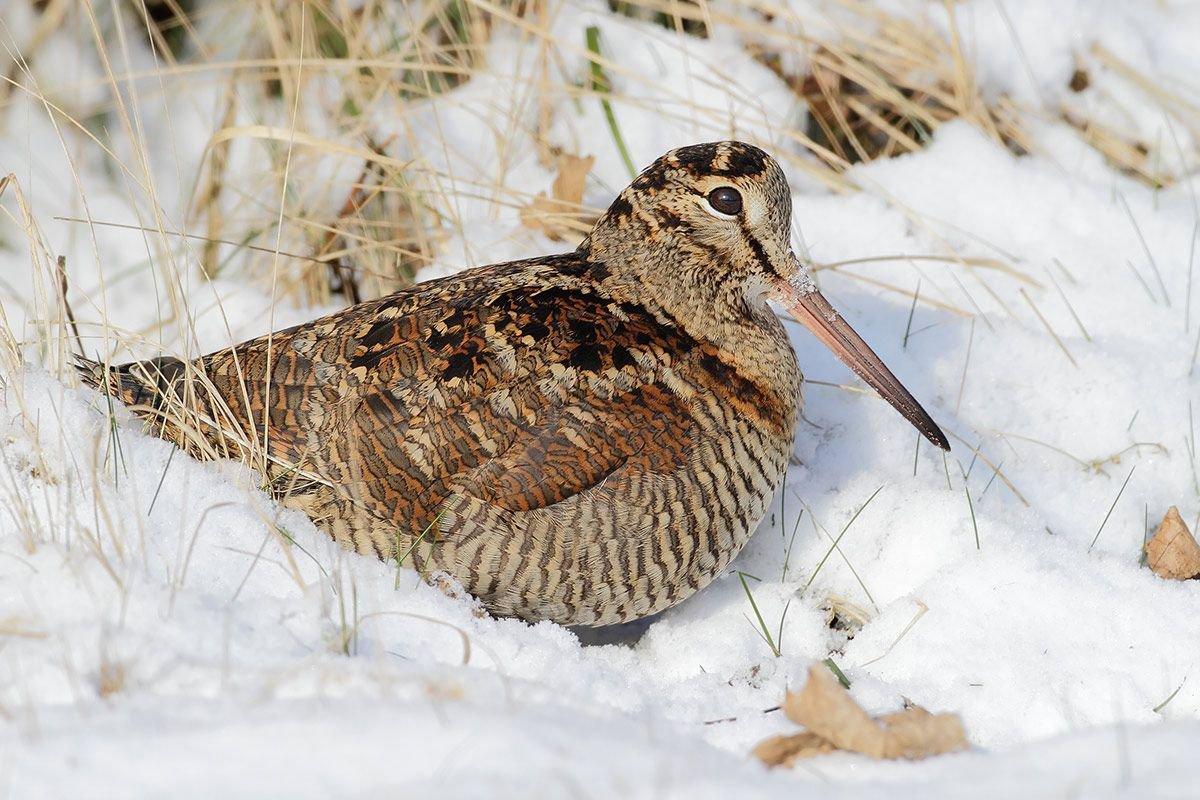 Voor Houtsnippen waren het barre tijden omdat ze met hun lange snavel niet meer in de bevroren grond konden priemen (foto: Raymond de Smet)