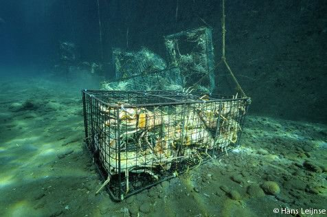 Lobster traps filled with lobsters (photo: Hans Leijnse)