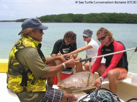 Measuring sea turtles during the Sea Turtle Monitoring Workshop on Bonaire (May 2010) (photo: Sea Turtle Conservation Bonaire)