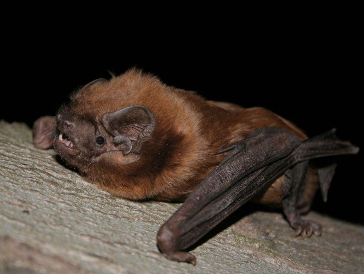 Grte rosse vleermuis: een spectaculaire nieuwe soort voor België (foto: Peter Kanuch)