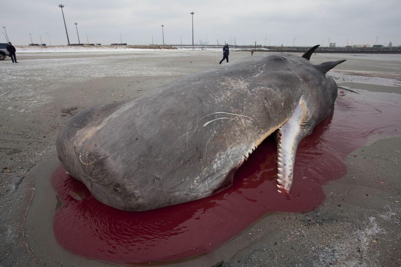 Badend in een plas bloed, bezweken onder het eigen gewicht (foto: Jan Haelters (KBIN))
