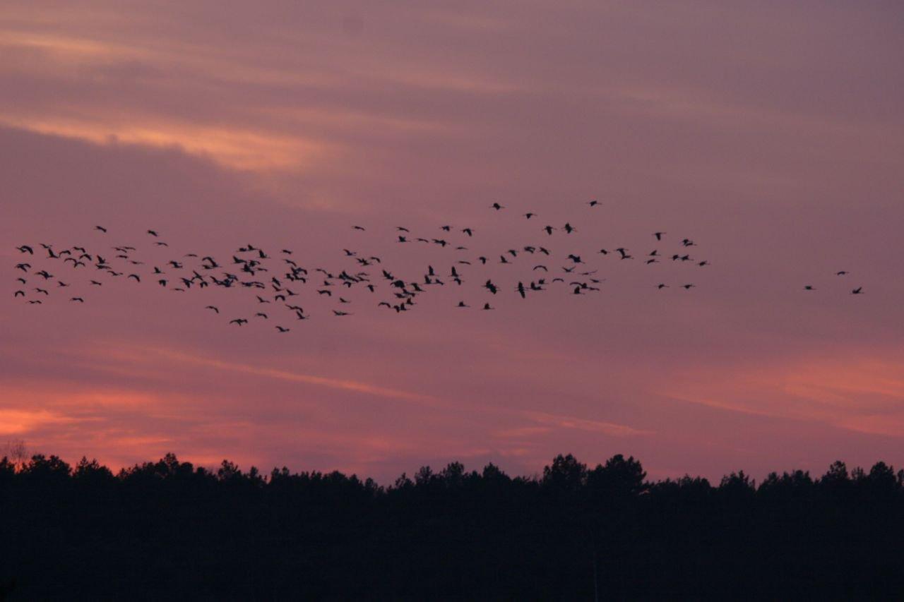 De Kraanvogeltrek zorgt jaarlijks voor spectaculaire taferelen. (foto: Patrick Schuurmans)
