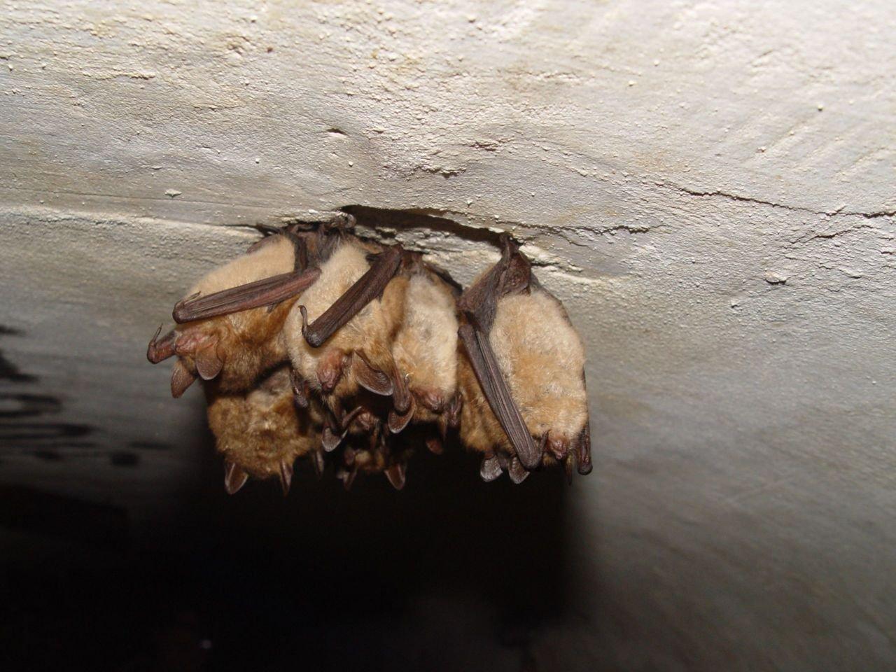 Ingekorven vleermuis is één van de soorten waarvan het aantal overwinterende exemplaren de voorbije jaren opmerkelijk stijgt (foto: Fons Bongers)