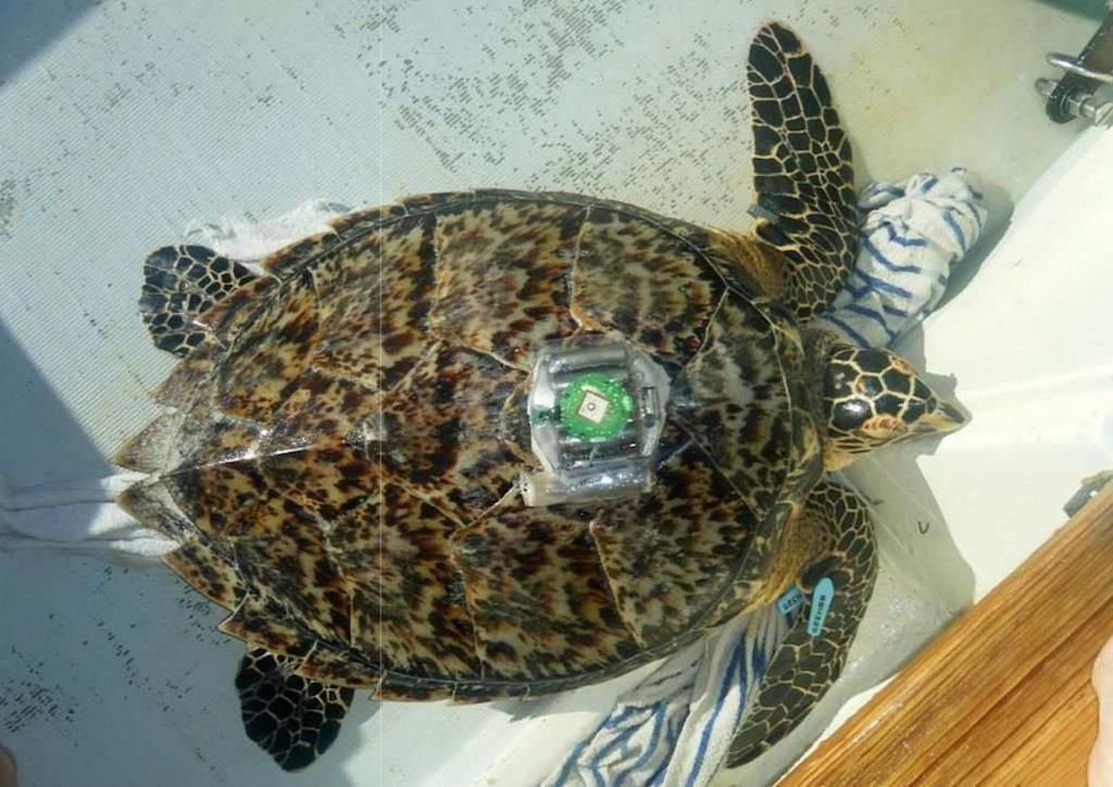 A Hawksbill turtle is equipped with a GPS tracker at Lac Bay (photo: Sea Turtle Conservation Bonaire)