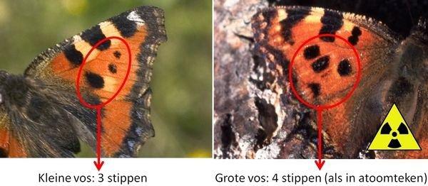 Het verschil tussen de Kleine en de Grote vos (foto: Kars Veling)