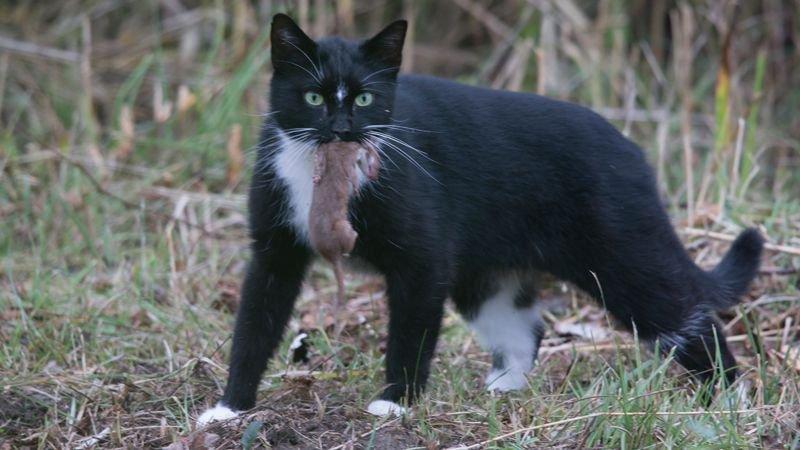 Deze huiskat ging met een Wezel aan de haal. (foto: Francis Pattyn)