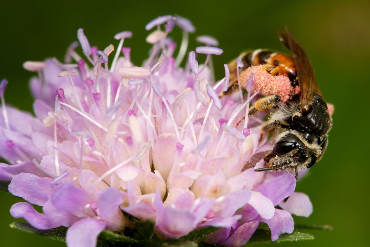 De Knautiabij heeft voldoende bloeiende Beemdkroonplanten nodig voor het grootbrengen van haar larven (foto: Nicolas J. Vereecken)