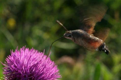 Kolibrievlinder in een distelrestaurant. (foto: Kars Veling)