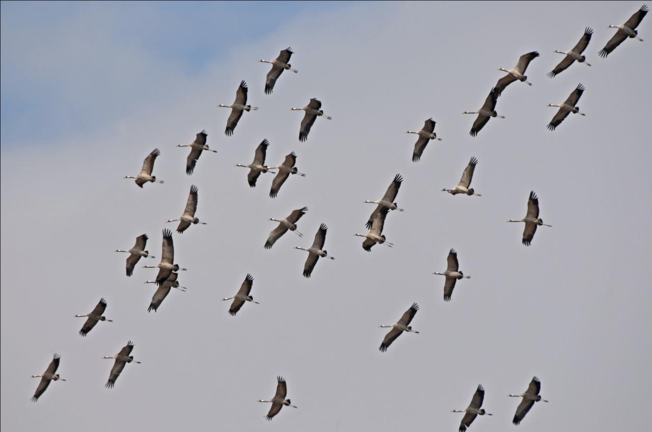 Bij sterke oostenwind doen soms zelfs trekkende Kraanvogels de Maatheide aan (foto Lex Peeters).