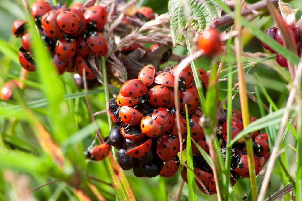 Neergestreken zwerm zevenstippelig lieveheersbeestjes (http://www.flickr.com/photos/monaxle/3797742315/sizes/l/in/photostream/))