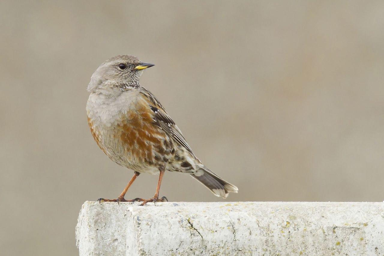 Ook deze Alpenheggenmus bezorgde veel vogelaars eerder deze week al een waar 'ornigasme' (foto: Filip De Ruwe)