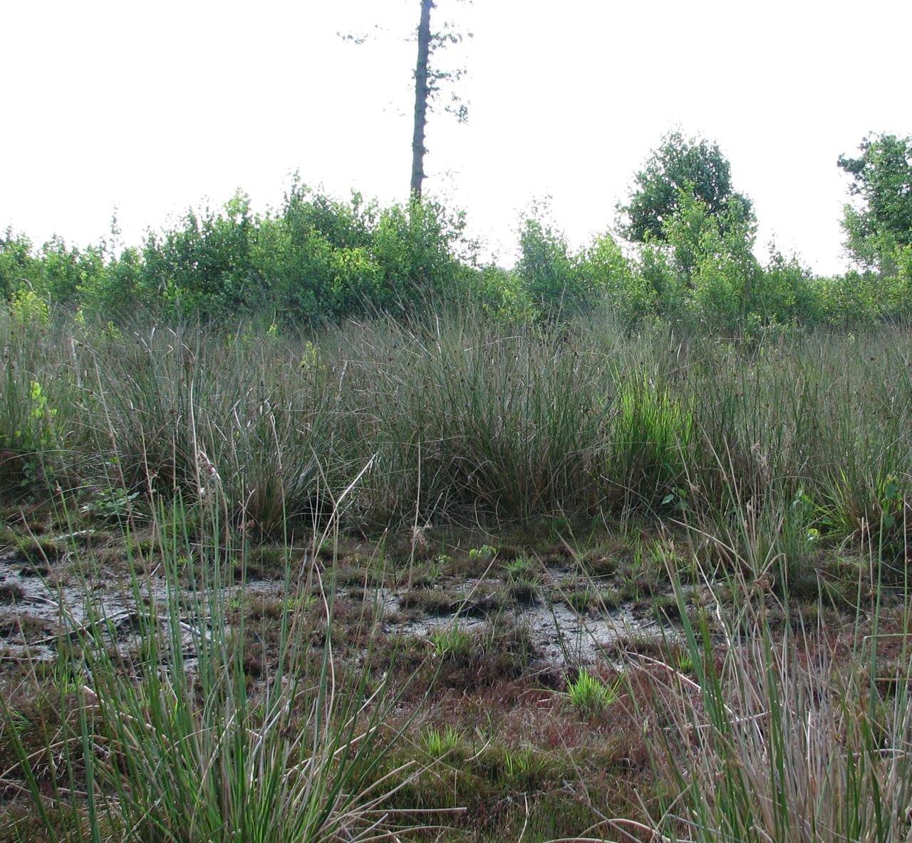 Het grootschalige heideherstel brengt nieuwe kansen voor typische heidesoorten zoals de Kleine zonnedauw (foto: Koen Leysen)